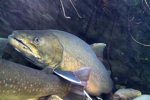 20110900_knn_trout_bull2_rblanchard (Small)